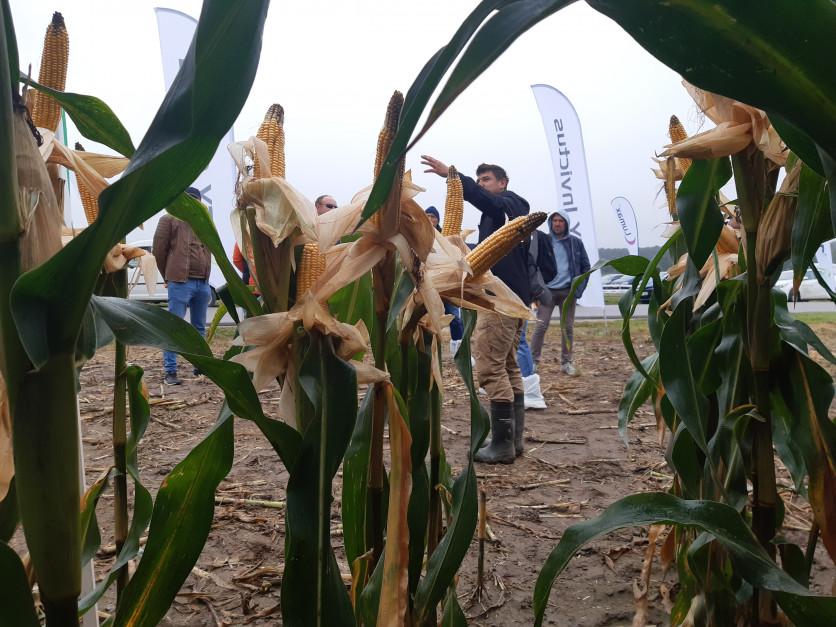 W Czarnocinie rolnicy szczególnie pytali o odmiany, które nadają się do uprawy na nieco lżejszych i piaszczystych stanowiskach, których w warunkach woj. łódzkiego nie brakuje Fot. A. Kobus