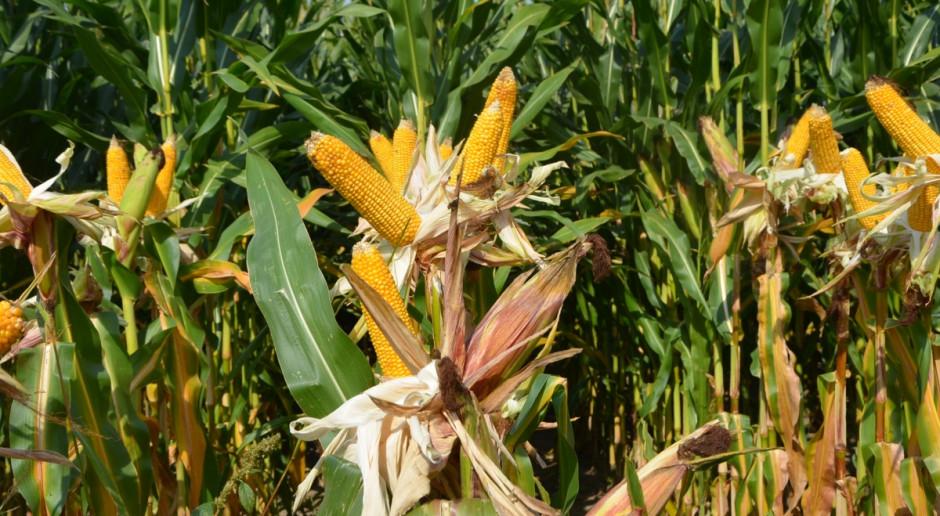 Cena pszenicy zwykle powyżej 1 tys. zł. Co z kukurydzą?