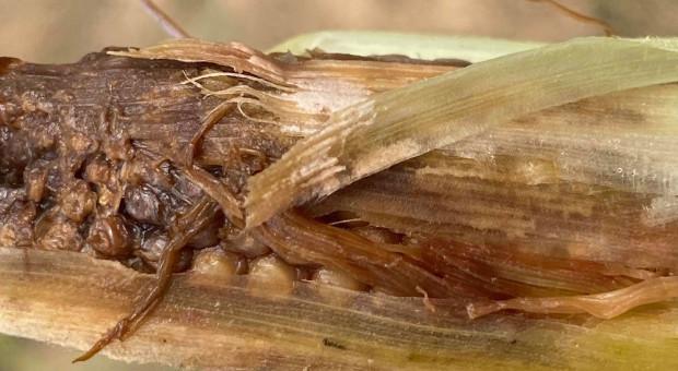 Zgniłe ziarniaki, zgniłe kolby kukurydzy