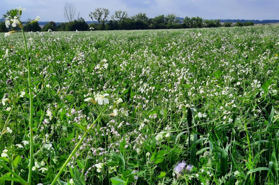 W Top Farms międzyplony służą utrzymaniu przez jak najdłuższy czas zdrowych, żywych korzeni w glebie (fot. Top Farms).