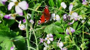 Kwitnące międzyplony stanowią pożytek dla owadów (fot. Top Farms).