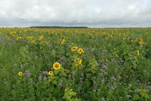 W Top Farms mieszanki międzyplonowe dobierane są tak, by nie szkodzić roślinom następczym (fot. Top Farms).