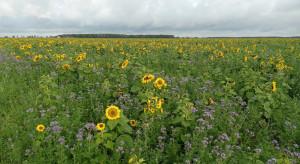 Przepis na biologizację dzięki międzyplonom według Top Farms