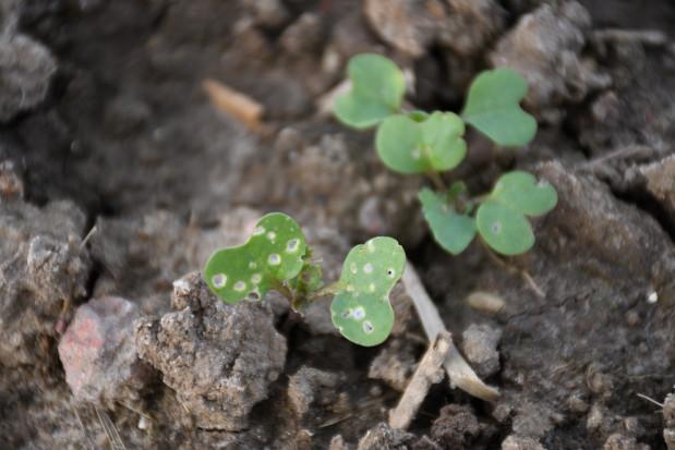Pchełka rzepakowa jest szczególnie niebezpieczna dla roślin rzepaku w stadium kiełkowania i wymaga natychmiastowego zwalczenia, fot. HJ