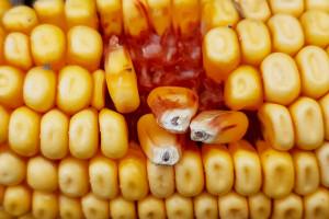 Dobra passa kukurydzy