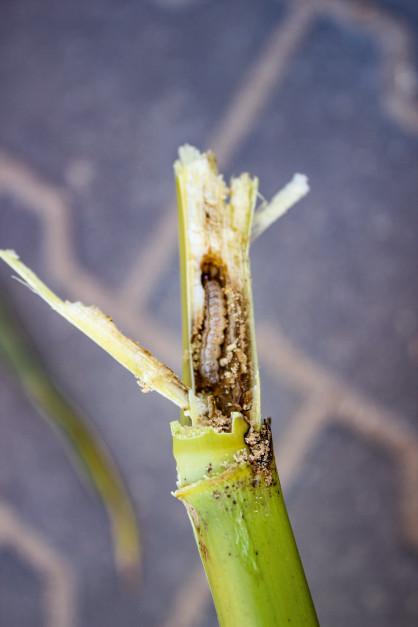 Staranne zagospodarowanie resztek pożniwnych iścierniska po zbiorze kukurydzy ma znaczenie także wzakresie zwalczania omacnicy prosowianki – groźnego szkodnika, który zimuje wdolnych częściach łodyg