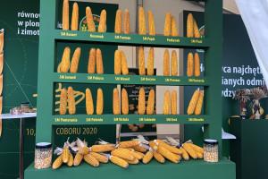 Agro Show: jakie nowości w krajowych hodowlach ziemniaka i kukurydzy?