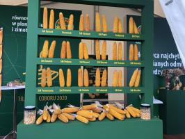 Według Łukasza Wójcika z HR Smolice rok 2021 można uznać za udany dla kukurydzy (fot. JŚ-S).