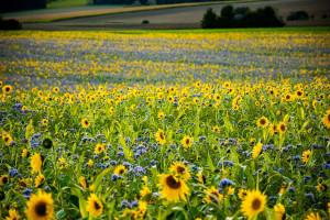 Ukraina spodziewa się o 20 proc. wyższych zbiorów roślin oleistych w 2021 r.