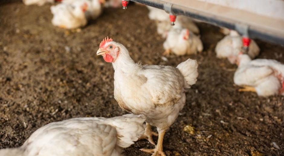 Na fermie drobiu spłonęły tysiące kurczaków, kilkanascie tysięcy do utylizacji