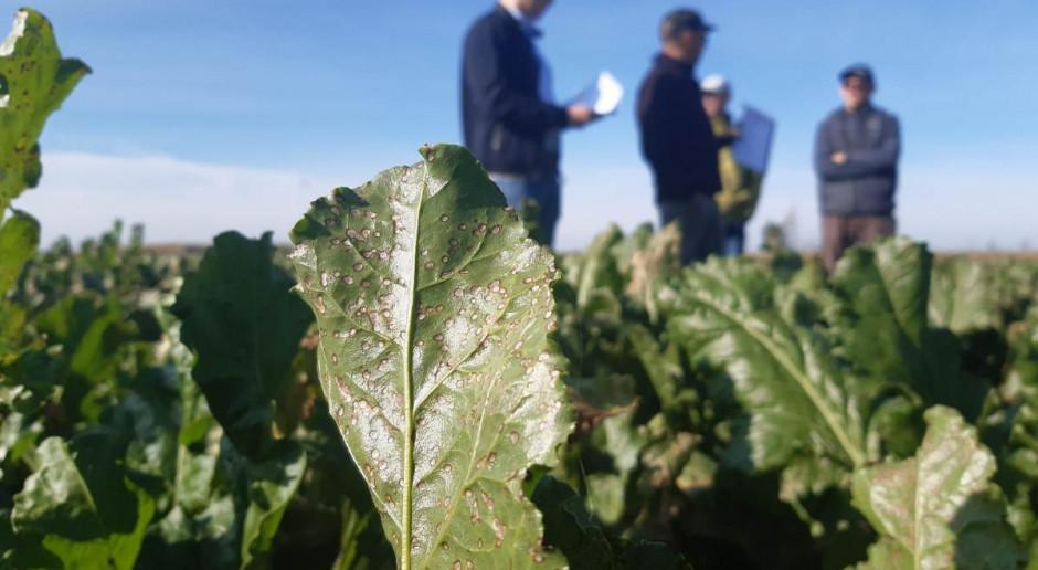 Adiuwanty, miedź i fungicydy – złożony program ochrony przed chwościkiem w badaniach naukowych