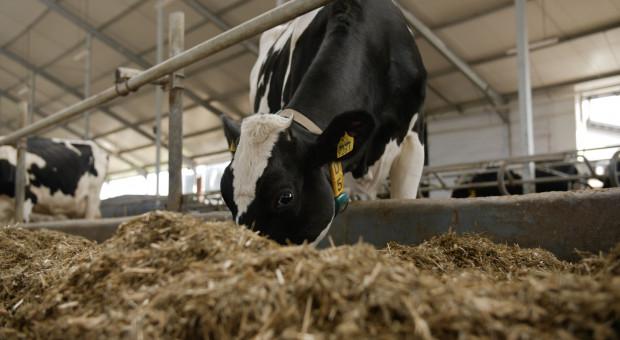 Trawa cytrynowa w dawce dla krów znacząco zmniejsza emisję metanu