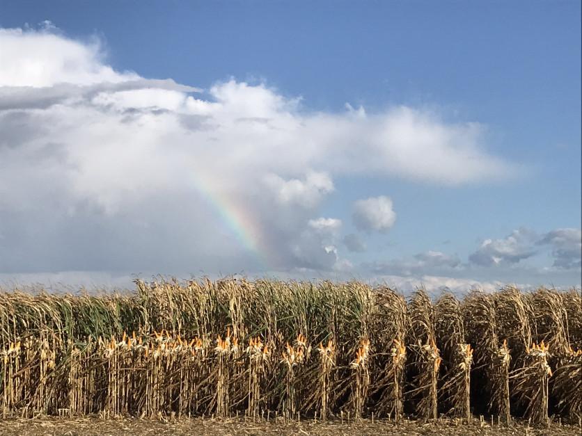 Tradycją podczas Dni Kukurydzy w Skrzelewie jest prezentacja odmian różnych firm nasiennych. Zdjęcie: S. Szymańczak