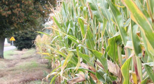 Dni Kukurydzy w Skrzelewie