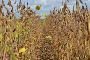 Gdzie najdrożej sprzedać soję?
