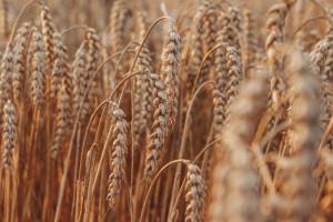 Spokojne notowania zbóż przed publikacją raportów USDA