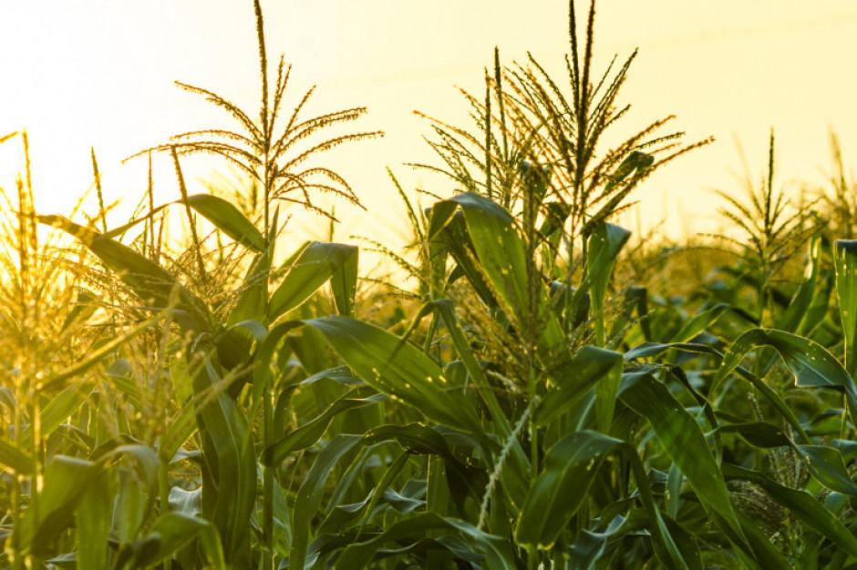 Ceny pszenicy wzrosły, kukurydzy - zaliczyły spadek