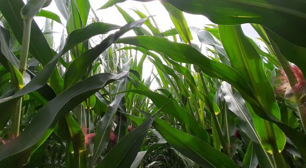 Kukurydza wysoka na 4,5 m
