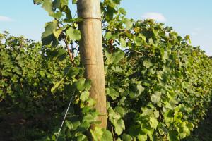 KE publikuje prognozy produkcji wina w UE w sezonie  2021/2022