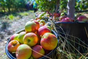 Lewica apeluje do ministra rolnictwa o interwencyjny skup jabłek od sadowników