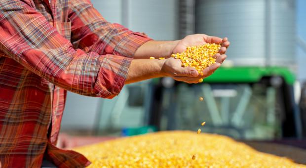 Żniwa kukurydziane się rozkręcają. Co z cenami?
